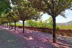 Rózsaszín virágok lepték el a Budai Várnegyedet