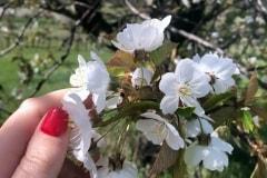 Áprilisban kezdődik a virágzás