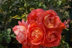 Cziráky Margit rózsakert