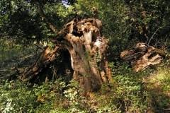 Mályvádi őstölgyes