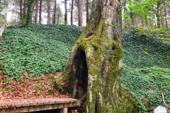 rododendronviragzas_jeli_arboretum-14