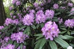 rododendronviragzas_jeli_arboretum-1