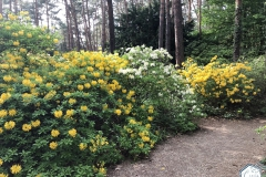 rododendronviragzas_jeli_arboretum-15