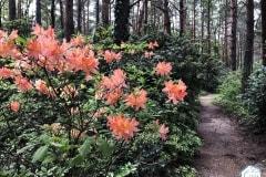 rododendronviragzas_jeli_arboretum-6