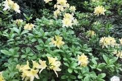 rododendronviragzas_jeli_arboretum-7