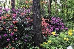 rododendronviragzas_jeli_arboretum-8