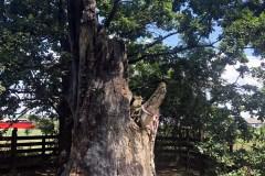 Petőfi fája, Nagyar