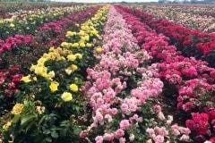Rózsaföldek Szőreg határában
