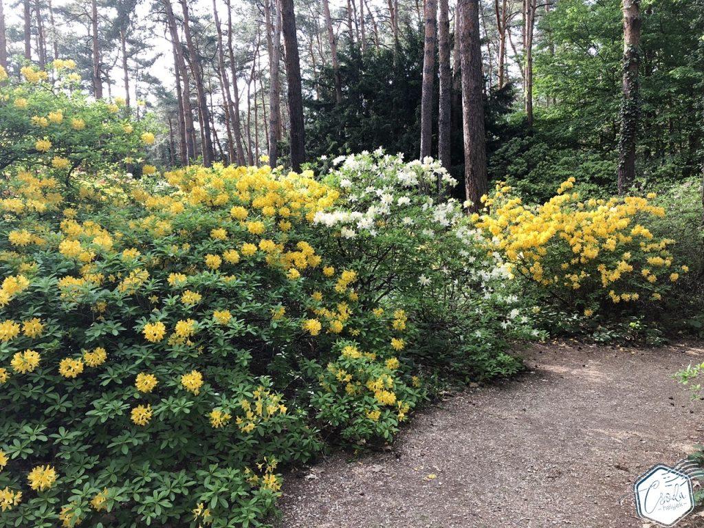 rododendronvirágzás jeli arborétum