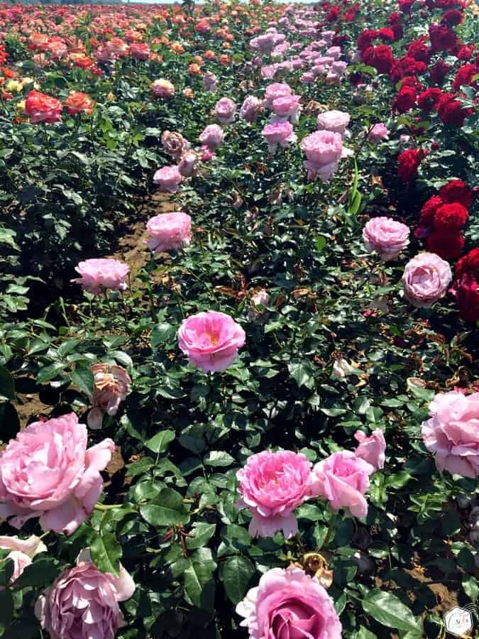Szőregi Rózsaünnep