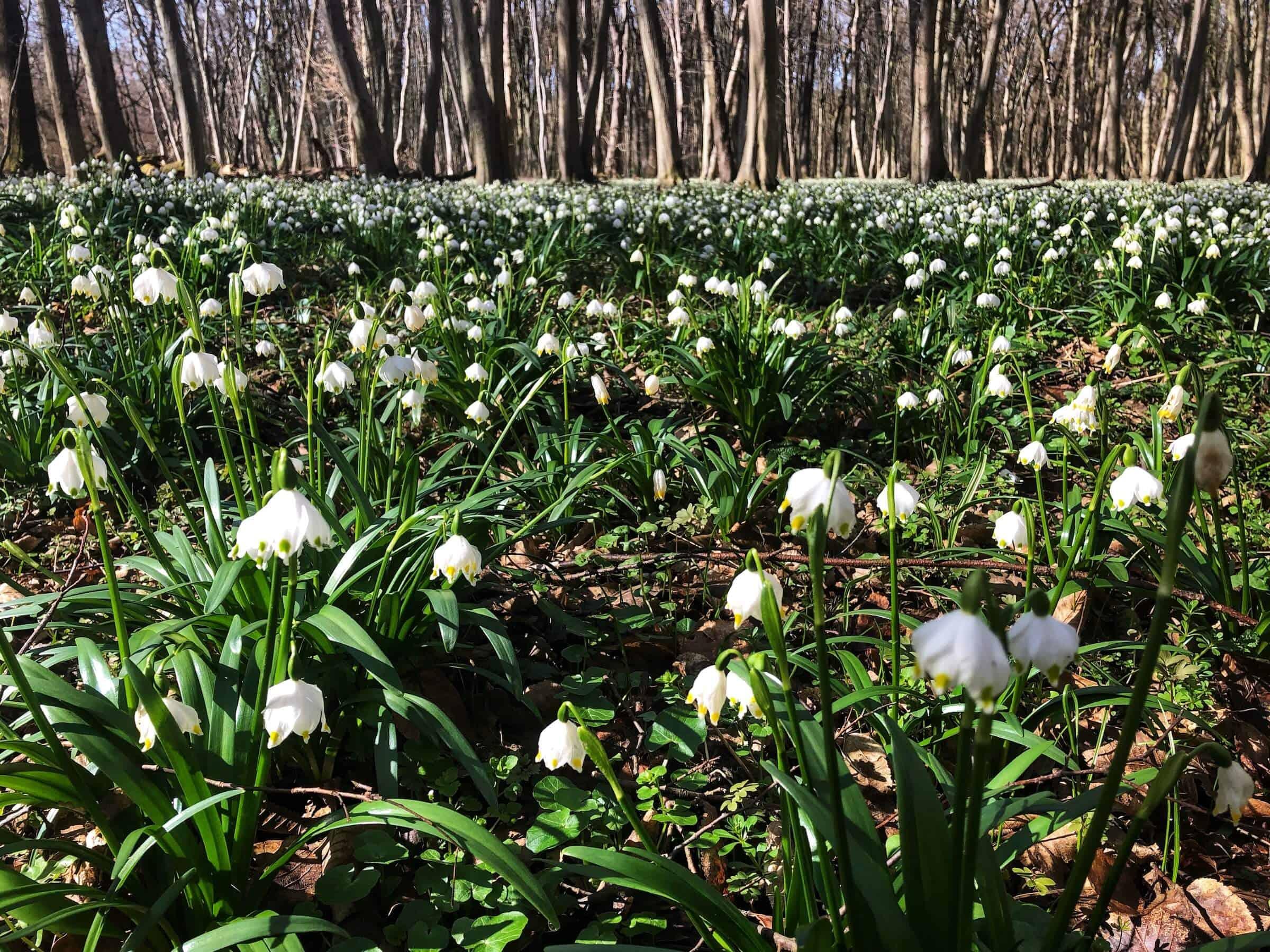 Milliónyi tőzike virágzik a Dobogó-erdőben