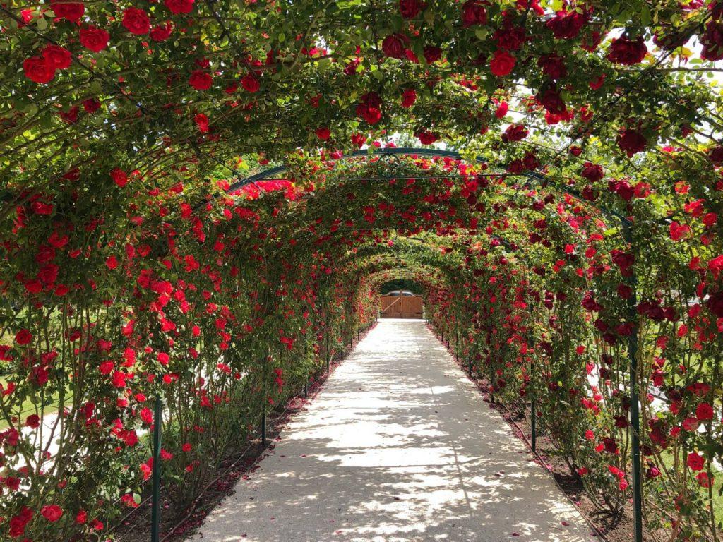 8000 tő rózsa illatozik a fertődi Esterházy-kastély kertjében