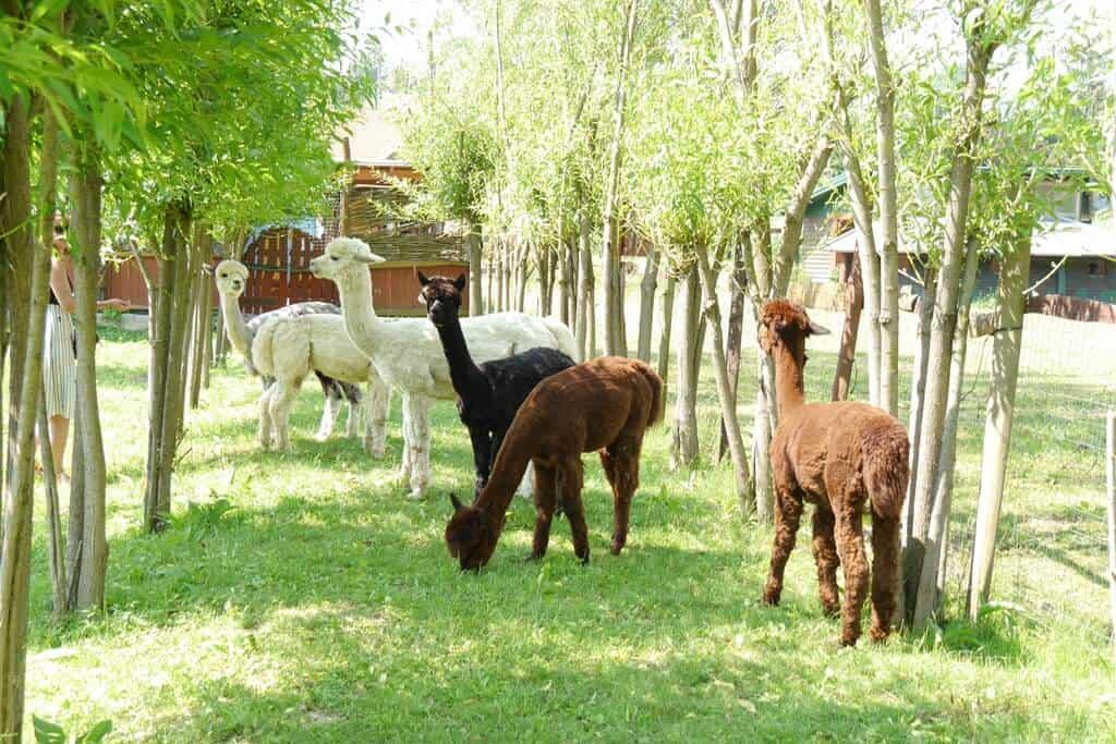 Alpaka Farm és Seholsziget Élménysziget Nőtincsen