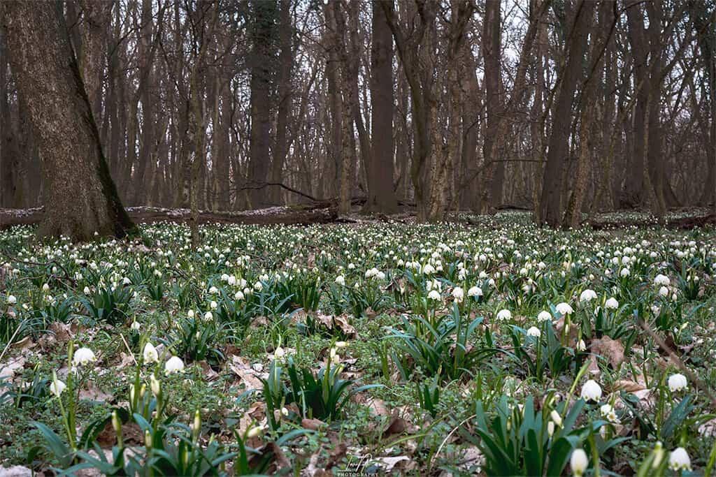 Hófehér viráglepel borítja a misztikus csáfordjánosfai erdőt