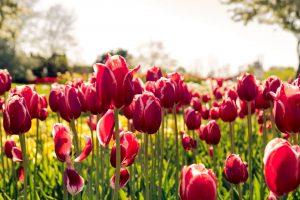 Tulipános kertek Magyarországon, ahol fotózni és szüretelni is lehet