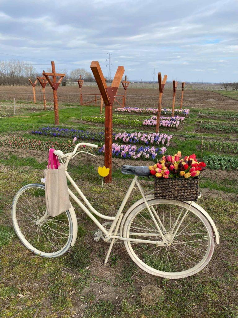 Tulipános kertek Magyarországon, ahol szüretelni és fotózni is lehet
