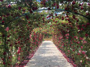 Rózsakertek Magyarországon – 15 rózsakert, ahol különlegességek virágoznak